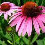 Echinacea - Ljekovita priroda