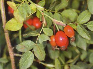 Ovisno o vrsti, šipak je okrugloga ili ovalnog oblika, u različitim nijansama crvene boje: od narančaste do zagasito crvene.