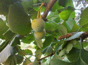 Ginko - najstarija biljka na Zemlji.