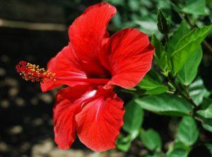Hibiskus: U Kini je poznat kao kineska ruža i ima sinonim bogatstva, dok je u Maleziji nacionalni cvijet.