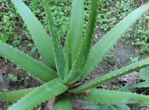 Aloe vera - stimulira rast kose, liječi tumor, pomaže kod problema želuca i crijeva ...