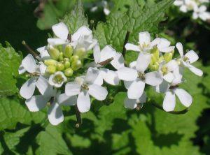 Češnjača se nekad u narodnoj medicini često koristila zbog jake arome, a u današnje vrijeme rijetko se koristi kao ljekovito bilje.