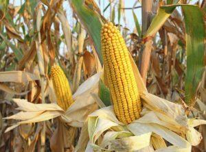 Kukuruz sadrži više bjelančevina nego mnoge druge vrste povrća.
