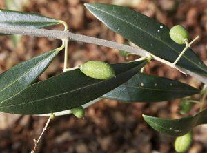 List masline bio je cijenjeno i često korišteno ljekovito sredstvo još od najstarijih vremena.