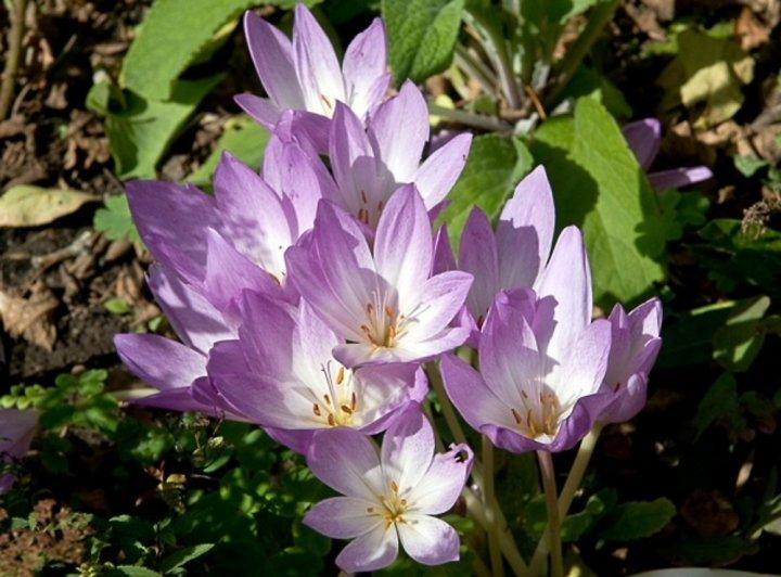 Ljekovita priroda: Mrazovac (Colchicum autumnale)
