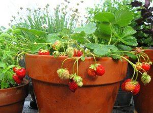 Umjesto za cvijeće, prozorske tegle mogu vam poslužiti za sadnju zelenog povrća, rotkvica, vlasca, papričica, blitve i jagoda.