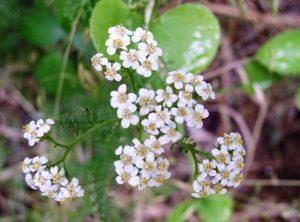Cvjetići su glavičasti, smješteni u štitac, bijeli ili ružičastocrveni.