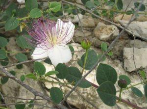 Kapar je tropska i suptropska biljka
