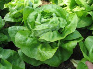 Puterica je najrasprostranjenija salata u Europi.