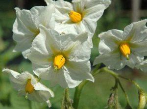 Cvjetovi su (ovisno o sorti) od bijele do ljubičaste boje.
