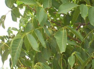 Ljekoviti list oraha