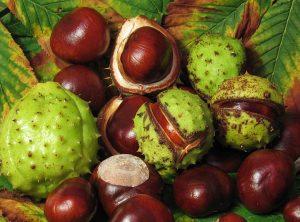 Divlji kesten je vrlo dobar prirodni lijek za ublažavanje simptoma kod proširenih vena.