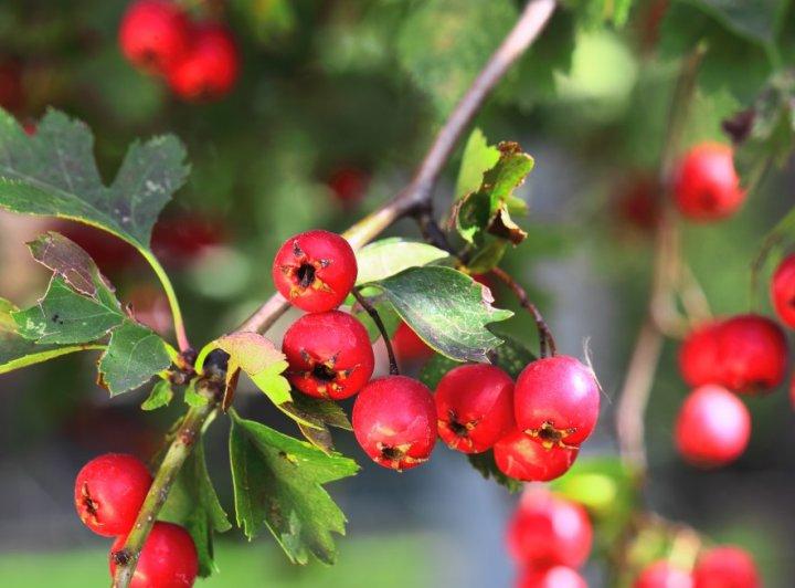 Top 10 biljaka za zdravo srce - glog